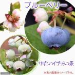 (観葉植物)果樹苗 ブルーベリー サザンハイブッシュ系 5号(1ポット) 家庭菜園