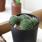 観葉植物 センペルビウム 品種おまかせ 2.5号 1ポット