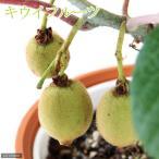 (観葉)果樹苗 キウイフルーツ スーパーゴールド 実無し 5号(1鉢) 家庭菜園