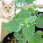 (観葉植物)ハーブ苗 猫草 キャットニップ コモン 3号(1ポット) 家庭菜園
