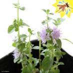 (観葉)ハーブ苗 ミント ペニーロイヤルミント 3号(1ポット) 虫除け植物 家庭菜園
