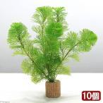 (水草)メダカ・金魚藻 ライフマルチ(茶) カボンバ(10個)