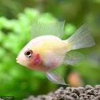 (熱帯魚)グラスゴールデンバルーン・ラミレジィ(1匹) 北海道・九州・沖縄航空便要保温