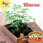 ショッピングハーブ (観葉)ハーブ苗 ミラクルニーム 3号(お買い得10ポットセット) 虫除け植物