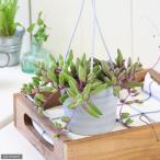 (観葉植物)ぶらりサキュレント ルビーネックレス 3号吊り鉢タイプ(1鉢) (説明書付)