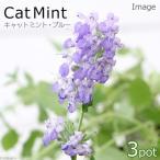 (観葉)ハーブ苗 ミント キャットミント ブルー 3号(お買い得3ポットセット) 家庭菜園
