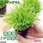 (観葉)スーダングラス 猫草 ネコちゃんの草 直径8cmECOポット植え(無農薬)(3ポットセット)