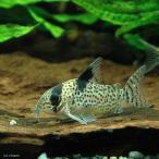 (熱帯魚)コリドラス・パンク(ワイルド)(3匹)