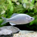 (淡水魚)カネヒラ ブルーメタリック(1ペア)