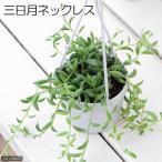 (観葉植物)ぶらりサキュレント 三日月ネックレス 3号吊り鉢タイプ(1鉢) (説明書付) 北海道冬期発送不可