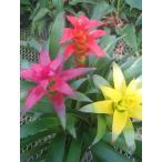 観葉植物 インテリア グズマニア・ミックス 6号3F