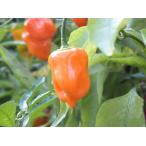 ハバネロ オレンジ とうがらし 7.5cmポット苗  5月中旬から下旬の発送です。