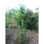 植木 ロウバイ 蝋梅 満月ロウバイ H=2.0