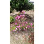 植木 サツキ 皐月  段物 ピンク 高さ1.0m