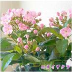 におい桜(ニオイザクラ)鉢植えかご付 ピンクの可愛い桜のような花で香りのよい花 敬老の日ギフトや誕生日プレゼント