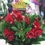 花 アルストロメリア 鉢植え 赤色系(花付き)籐かご付き 母の日や誕生日プレゼントに長く鑑賞できる花鉢ギフト