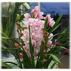 シンピジューム鉢植え ピンク系4本立て 送料無料
