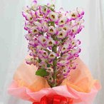 デンドロビューム ピンク陶器鉢植え 誕生日や退職祝いなど春のお祝いに蘭鉢の贈り物