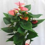 アンスリウム(アンスリューム) ピンク系 6号鉢植え お中元 ギフト お祝い 花 プレゼント