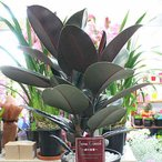 Yahoo!クロスリースタイル観葉植物 フィカス:バーガンディ 7号鉢植え 葉が赤黒味を帯び鮮やかな観葉植物でモダンなスタイルが人気のゴムの木 【80サイズ】