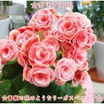 薔薇のような花が可愛く白ピンクの覆輪色のリーガス