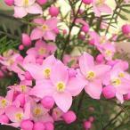 春の鉢植え 「ボロニア:ピナータ」 5号鉢植え 籐かご付きでお届け 【送料無料】