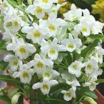 春の鉢植え デンドロビューム 白系 誕生日や退職祝いなど春のお祝いに蘭鉢の贈り物