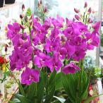 蘭の花 デンファレ 鉢植え 濃いピンク系 5本立て お祝い花ギフト・誕生日プレゼントに