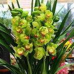 シンビジューム鉢植え グリーン系4本立て「品種はおまかせ」 送料無料