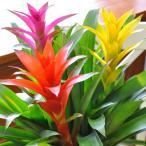 グズマニア:アナナスミックス鉢植え お祝いに華やかな贈り物 花 ギフト