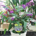 ハーデンベルギア 5号鉢植え[ミックス植え]  籐かご付きでお届け 春の鉢花 【送料無料】