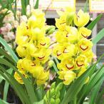 シンビジューム鉢植え 黄色系3本立て 退職・昇進・開店・誕生日などのお祝い 花 ギフト 送料無料