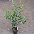 オリーブ 鉢植え 60サイズ 3.5号ポット苗
