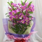 デンドロビューム ピンク 陶器鉢植え「ピンクに白」 誕生日や退職祝いなど春のお祝いに蘭鉢の贈り物