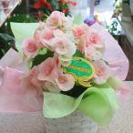リーガースベゴニア 鉢植え ピンク かご付 誕生日プレゼントやお祝い花ギフト