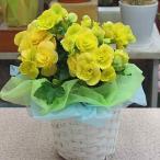 リーガースベゴニア鉢植え 黄色系 籐かご付き 幸せの黄色い花