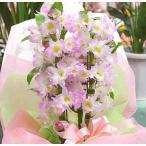 春の鉢植え デンドロビューム ピンク 「ピンクに白」誕生日や退職祝いなど春のお祝いに蘭鉢の贈り物