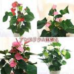 アンスリウム 6号鉢植え 花の色を選べます