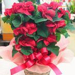 薔薇のようなポインセチア「ウインターローズ」 5号かご付き鉢植え 送料無料