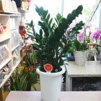 ザミア:ザミオクルカス 7号鉢植え 爽やかなインテリアグリーン【80サイズ】