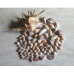 クモガイ(蜘蛛貝)標本& 貝殻セット品