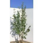 ソヨゴの木 5本株立ち 約1.9m 美樹形株 現品発送 メス株 常緑樹