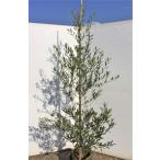 オリーブの木 ミッション 約1.8m 現品発送 大型苗木 観葉植物に