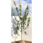 レモン 苗 アレンユーレカ 約2.5m 大きなレモンの木 現品発送 特大株 高品質 檸檬の木