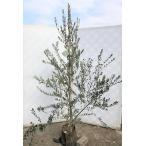 オリーブの木 マンザニロ 約2m 大株植木苗木 現品発送 観葉植物に