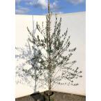オリーブの木 マンザニロ 約1.9m 大株植木苗木 現品発送 観葉植物に