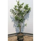 レモンの木 ビアフランカ 約1.5m 現品発送 特大株 植木苗木 トゲなし檸檬の木 常緑樹 観葉植物 鉢植えに 送料無料