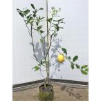 レモンの木 リスボンレモン 約1.4m 現品発送 特大株 植木苗木 檸檬の木 常緑樹 観葉植物や鉢植えに 果樹 送料無料