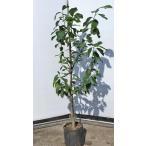 レモンの木 リスボンレモン 約1.3m 現品発送 特大株 植木苗木 檸檬の木 常緑樹 観葉植物や鉢植えに 果樹 送料無料