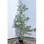 ポポラス 丸葉ユーカリ 約1.6m 現品発送 鉢植え 特大株 植木苗木 丸葉のユーカリの木 常緑樹 送料無料